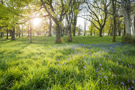 Sunrise over the bluebell woodland at Badbury Rings, Dorset.