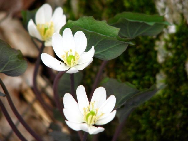 Bloodroot (Sanguinaria canadensis (6)