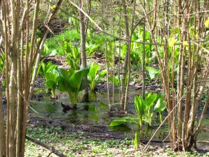 Skunk Cabbage in vernal pool. Crosswicks Audubon Wildlife Sanctuary. Photo by Donna L. Long.