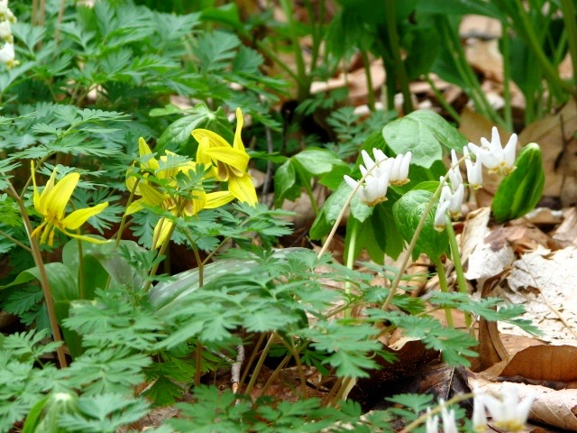 Trout Lilies and Dutchmen's Breeches Flowers in Bloom in Early Spring. Photo by Donna L. Long.