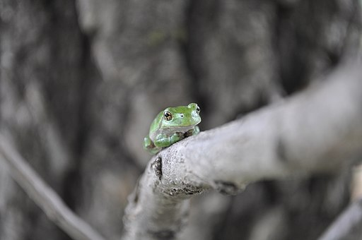Gray Tree Frog (Hyla vericolor or Hyla chrysoscelis). Photo by USFWS Midwest Region