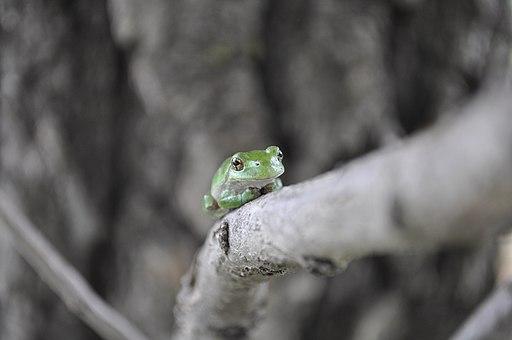 Gray Tree Frog (Hyla vericolor or Hyla chrysoscelis). Photo by USFWS Midwest Region