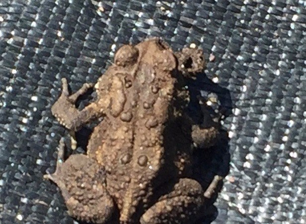 American Toad (Bufo americanus) in my community garden plot. Photo by Donna L. Long.