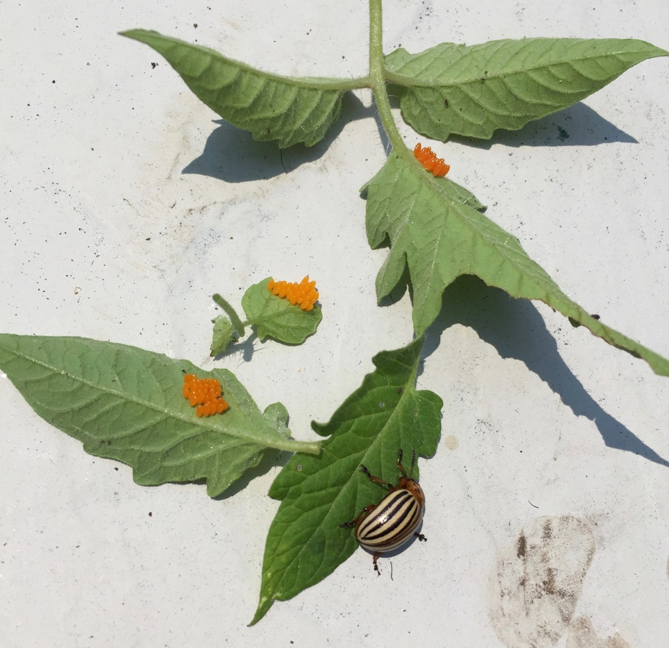 Colorado Potato Beetles and How to Predict Garden Pest Infestations