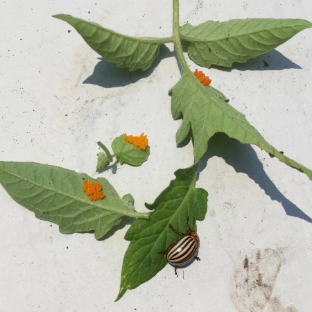 Colorado Potato Beetle laying orange eggs on stressed tomato plants