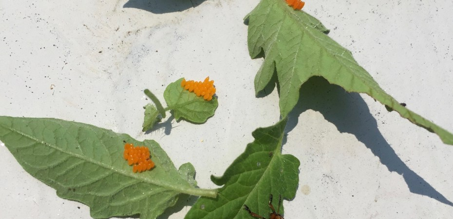 Colorado Potato Beetle laying orange eggs on stressed tomato plants