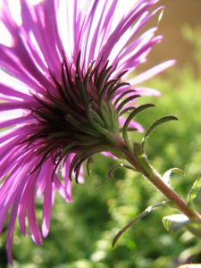 Backlight Fall New England Aster