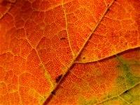 Closeup pf Autumn Leaf