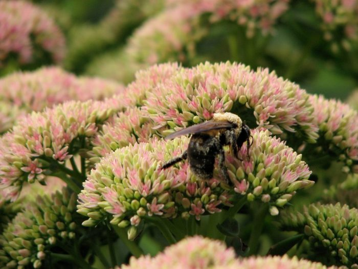 Autumn Joy Sedum with Insects