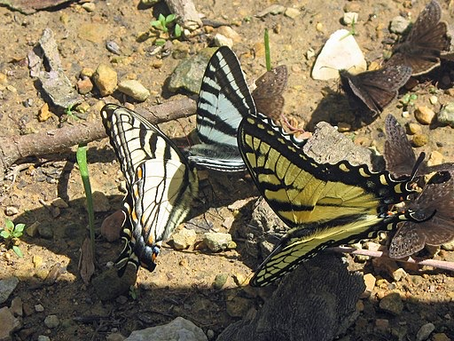 A gathering of Swallowtail butterflies. (Eastern Tigers and Zebras)