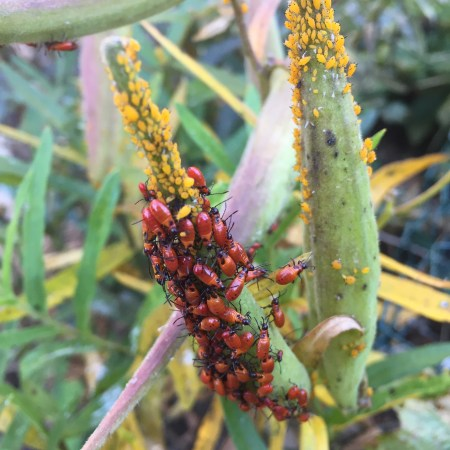 immature Large Milkweed Bugs (Oncopeltus fasciatus) on Butterfly Weed (Asclepias tuberosa) in my garden.