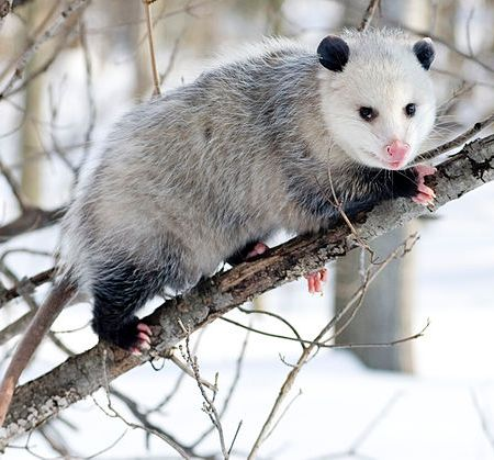 North American Opossum (Didelphis virginiana) with winter coat.