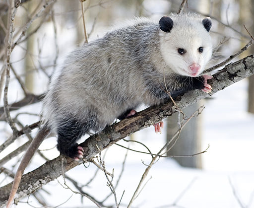 Virginia Opossum (Didelphis virginiana) with winter coat.
