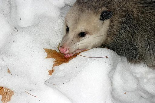North American Virginia Opossum (Didelphis virginiana) lying in the snow