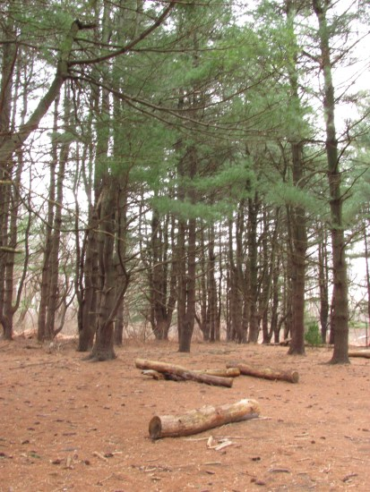 Pine tree groove - habitat for owls and hawks. Schuylkill Center