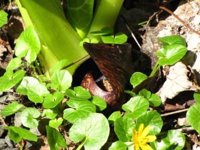 flowers skunk cabbage