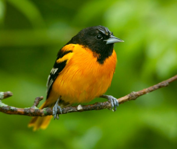 bird_baltimore-oriole-male