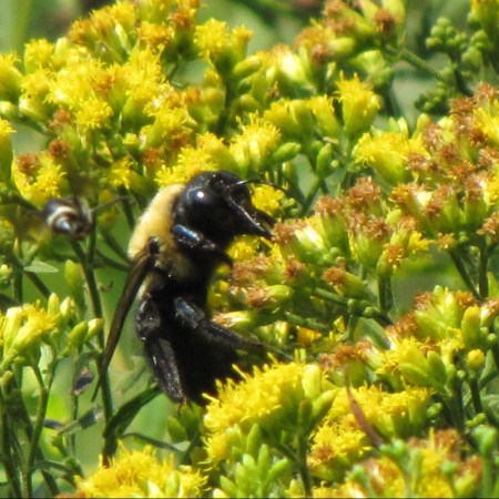 goldenrod and insects: Bumblebee on Goldenrod