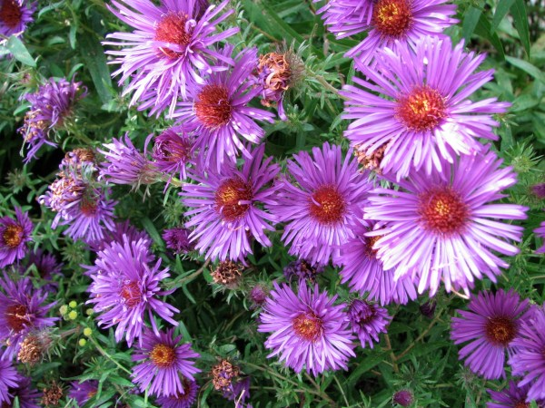 New England Aster (Aster novae-angliae) in my back garden.