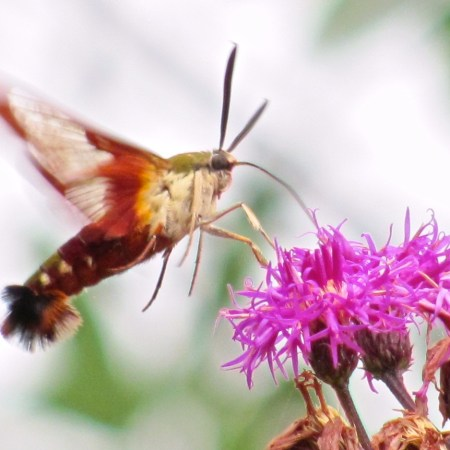 Clearwing Humminbird Moth (Hemaris thysbe). Photo by Donna L. Long.