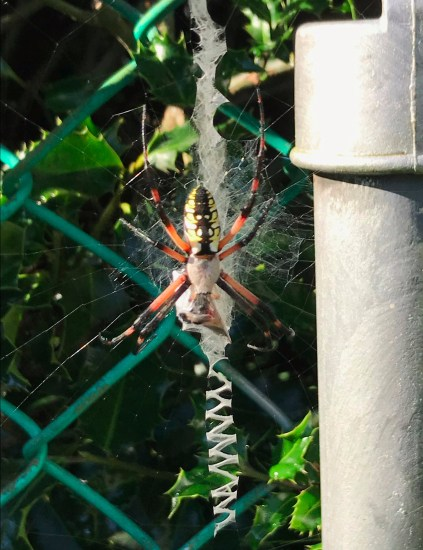 Stabilimenta and spider in Yellow Garden Spider (Ariope aurantia) web in my back garden. Photo by Donna L. Long.