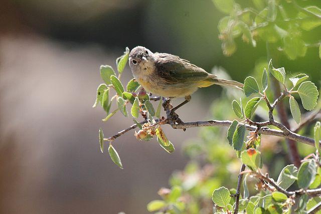 Virginias Warbler_(Leiothlypis virginiae. Photo by By Dominic Sherony - Uploaded by Magnus Manske, Wikimedia.