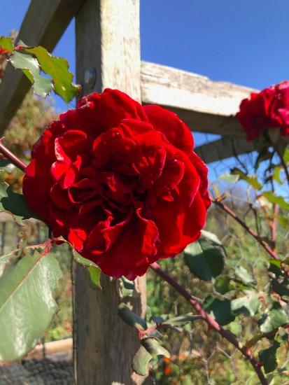 Climbing Don Juan a Climbing Rose in my garden plot