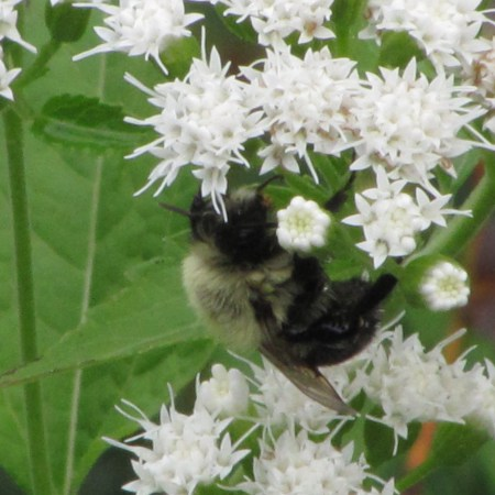 White Snakeroot (Ageratina altissima) with dead Bumle bee in my garden.