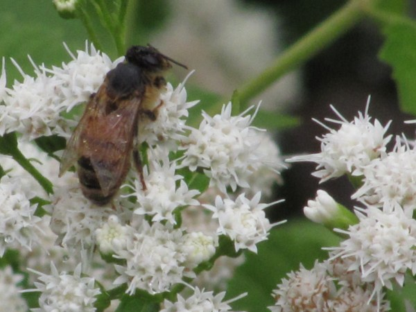 White Snakeroot (Ageratina altissima) with dead bee in my garden.