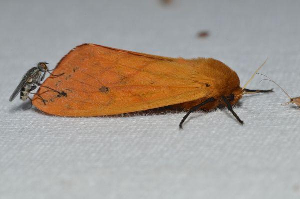 Adult Isabella Tiger Moth (Pyrrharctia isab