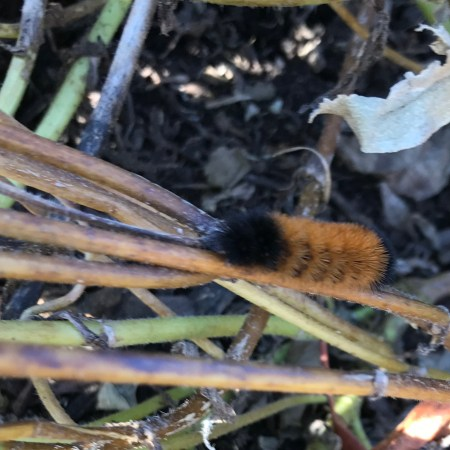 Woolly Bear caterpillar of the Isabella Tiger Moth