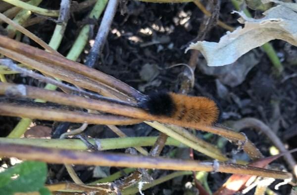 Woolly Bear caterpillar of the Isabella Tiger Moth