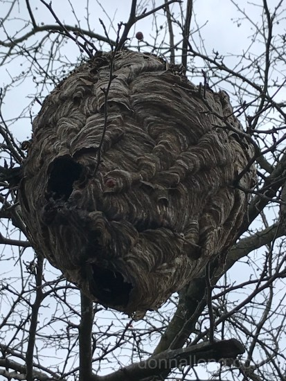 Abandoned wasp nest in winter
