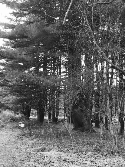 white pine tree grove