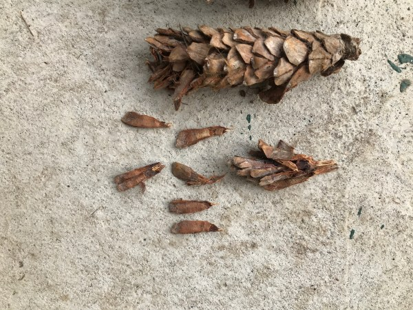 white pine tree cone and scales
