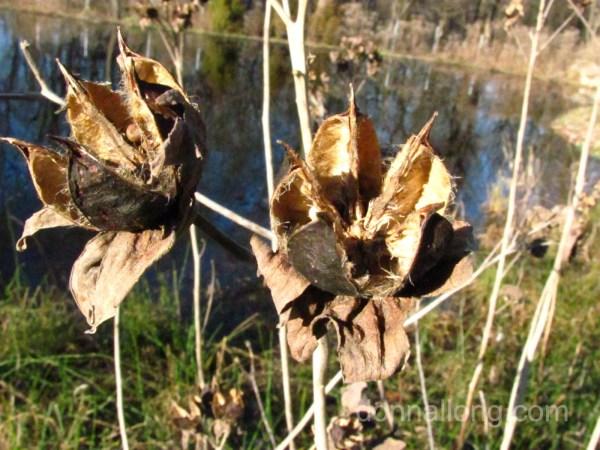 open seed pod in winter
