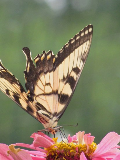 butterfly_tiger swallowtail