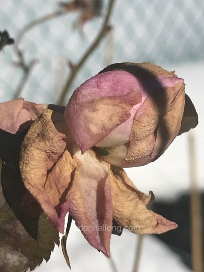 Mary Rose bud in Winter