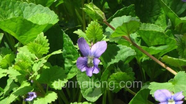 common blue violet_Viola sororia