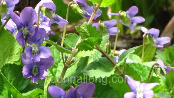 Common Blue Violets_Viola sororia