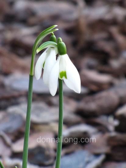 snowdrops_Galanthus nivalis