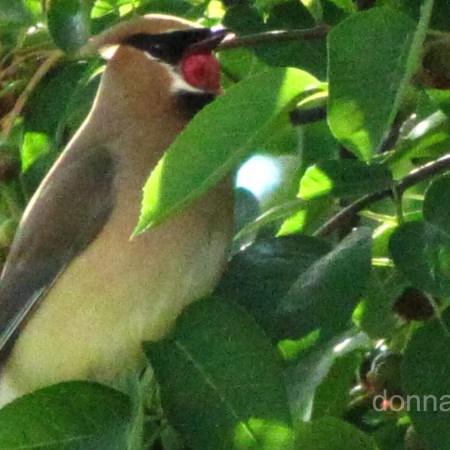 Cedar Waxwings eating a shadbush berry.