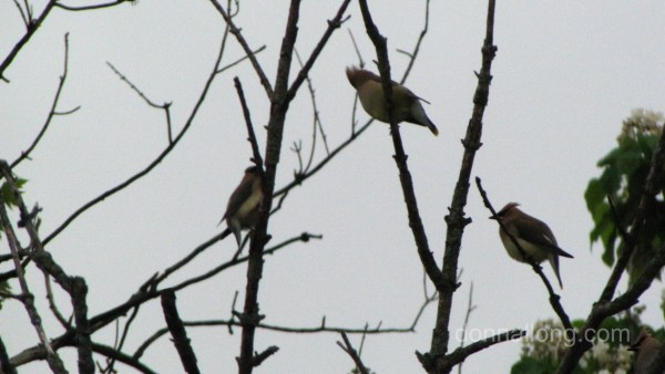 Cedar Wxwings checking to see if the Shadbush is safe.