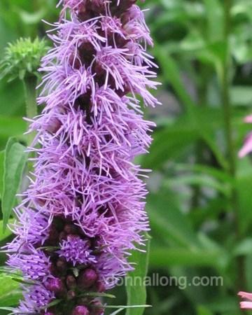 Blazing Star (Liatris spicata)