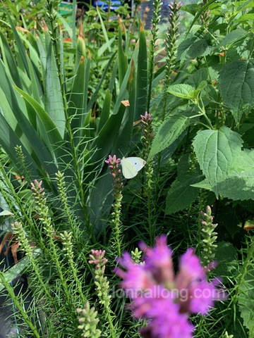 Cabbage White butterfly pollinating Blazing Star