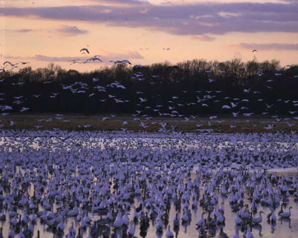 birds_migration