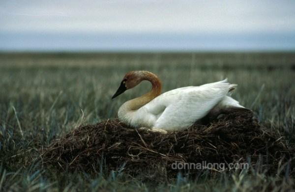 bird_tundra_swan