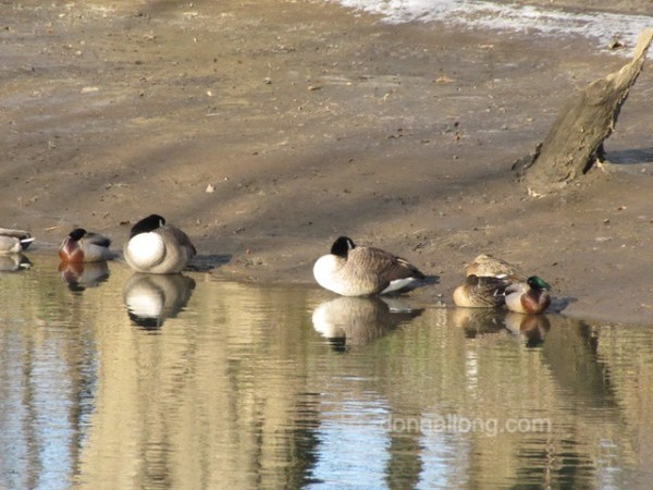 birds ducks geese
