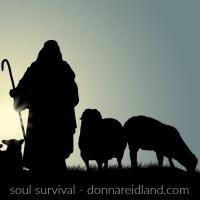 shepherd lambs sheep