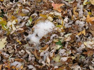 Bichon frise playing in autumn leaves